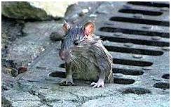 Ratón saliendo alcantarilla-tratamiento residuos fecales en enfermos de Ébola